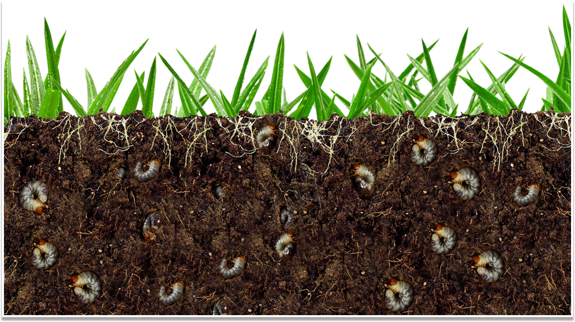Grub Worm Control Amp Insect Control Simply The Best Lawn